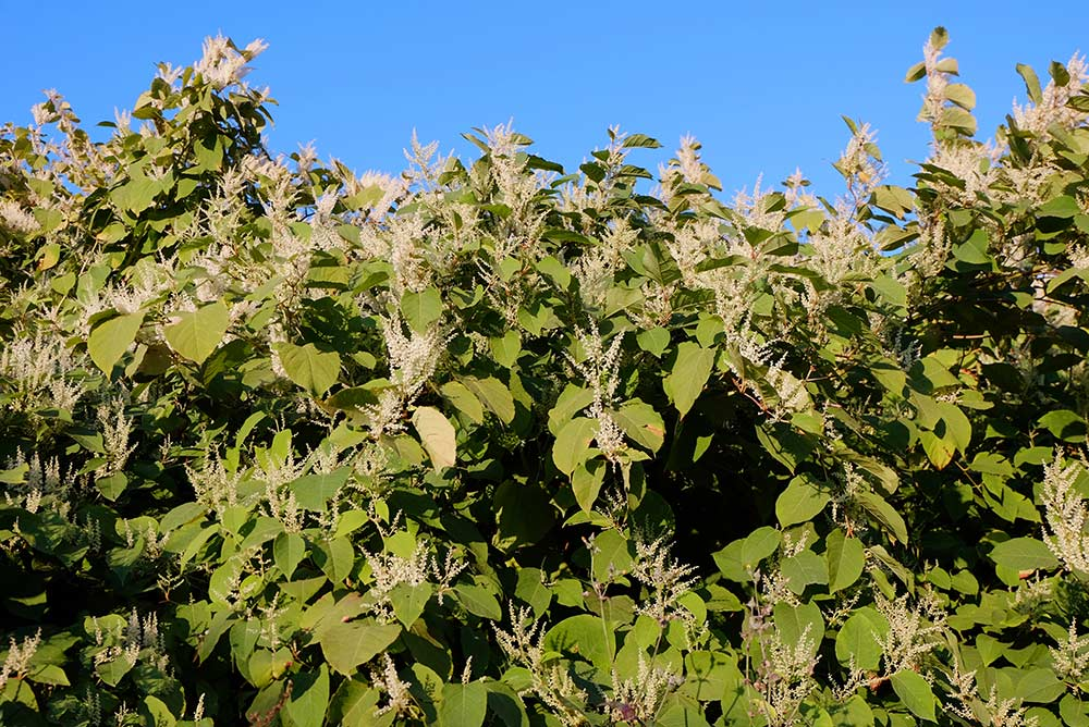 other-knotweed-2