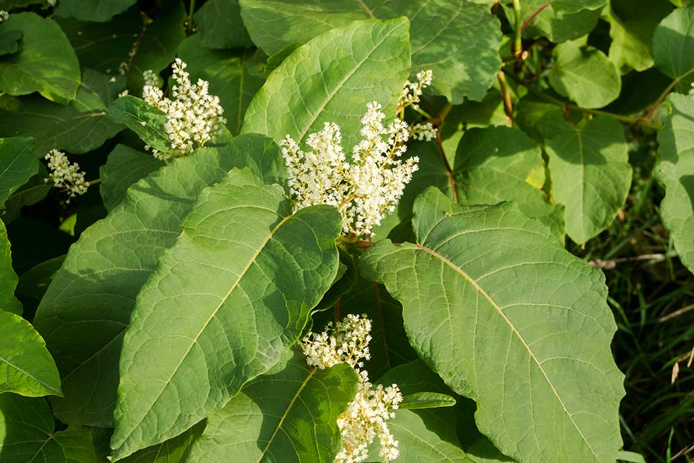 other-knotweed