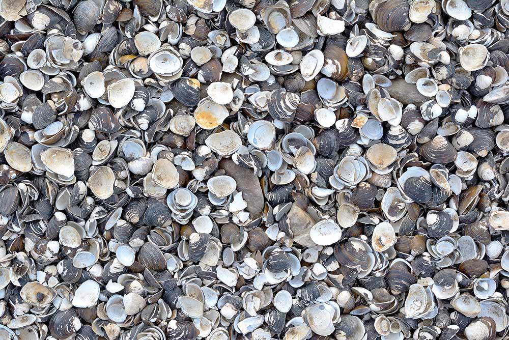 asian-clam-1
